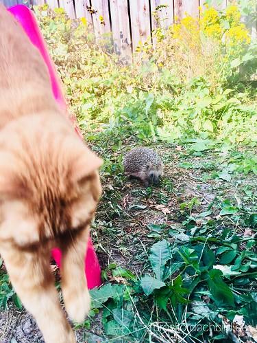 baby hedgehogs 2018 ❤️, july 19