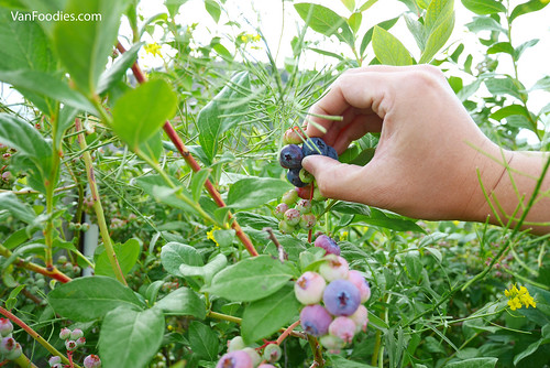 Covert Farms Family Estate Blueberry Picking