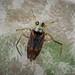 Backswimmer sp. - Notonecta maculata