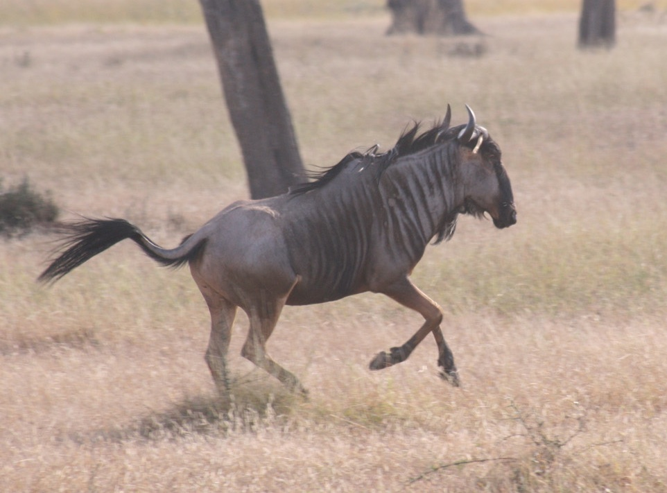 A trotting blue wildebeest in Mikumi National Park. Photo taken on August 7, 2008.