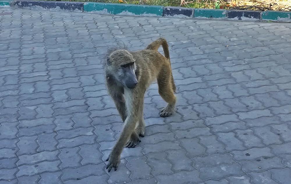 baboon-victoria-falls