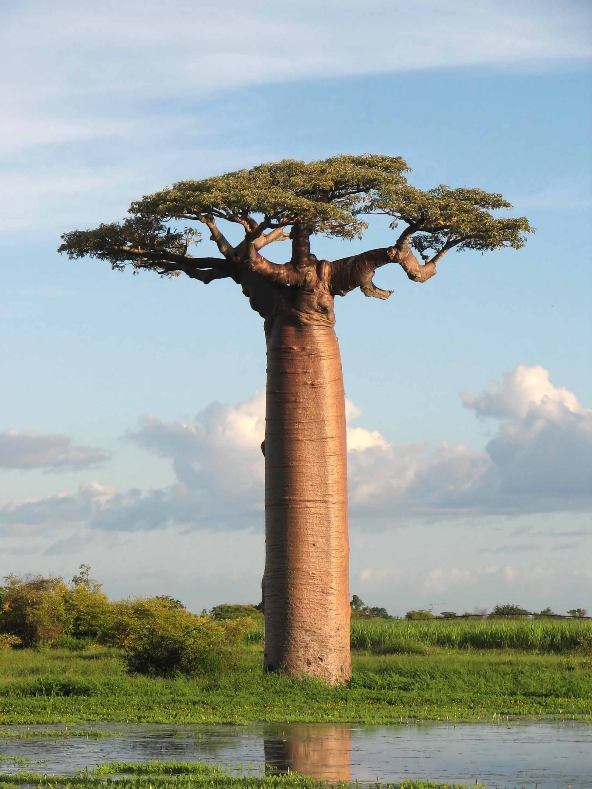 Grandidier's Baobab (Adansonia grandidieri). Photo taken near Morondava, Madagascar, on March 14, 2007.