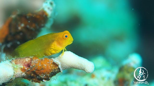 何を思う、インドカエルウオ幼魚ちゃん♪