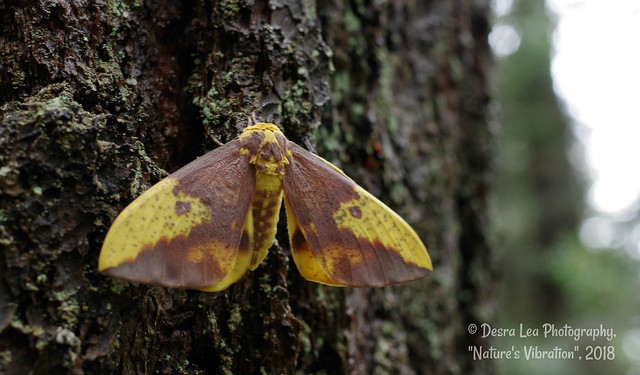 Imperial Moth, eacles imperialis