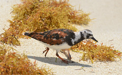 Ruddy Turnstone 4-18-14