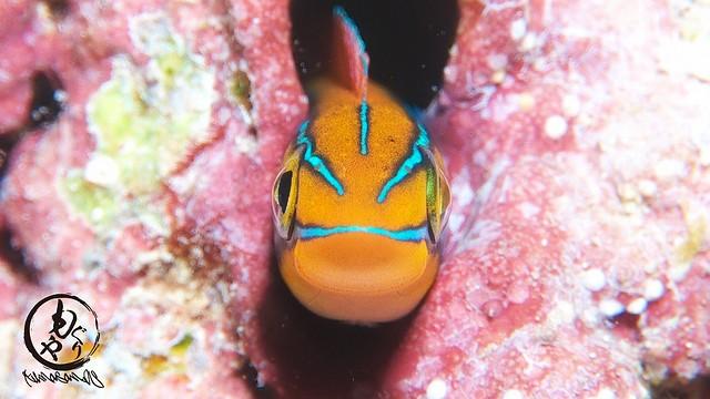 幼魚のときから笑顔ふりまくりなミナミギンポちゃんw