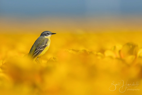 yellow wagtail in a cloud of tulips