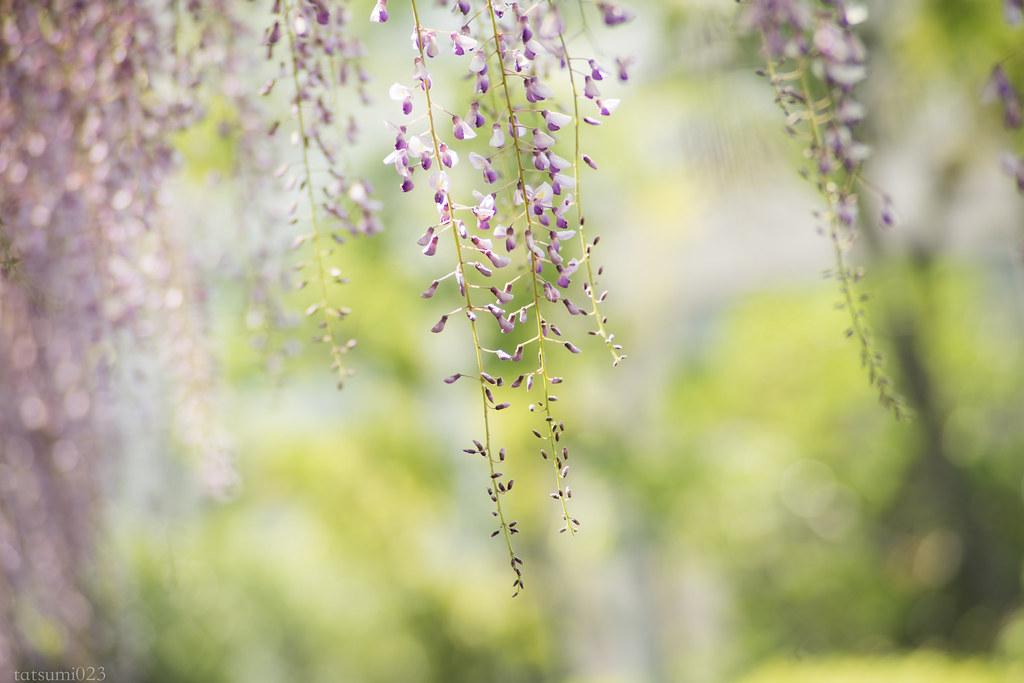 2018-04-21 藤の花 001