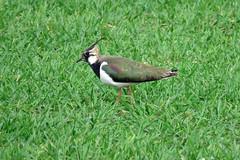 HolderLapwing - Vanellus vanellus