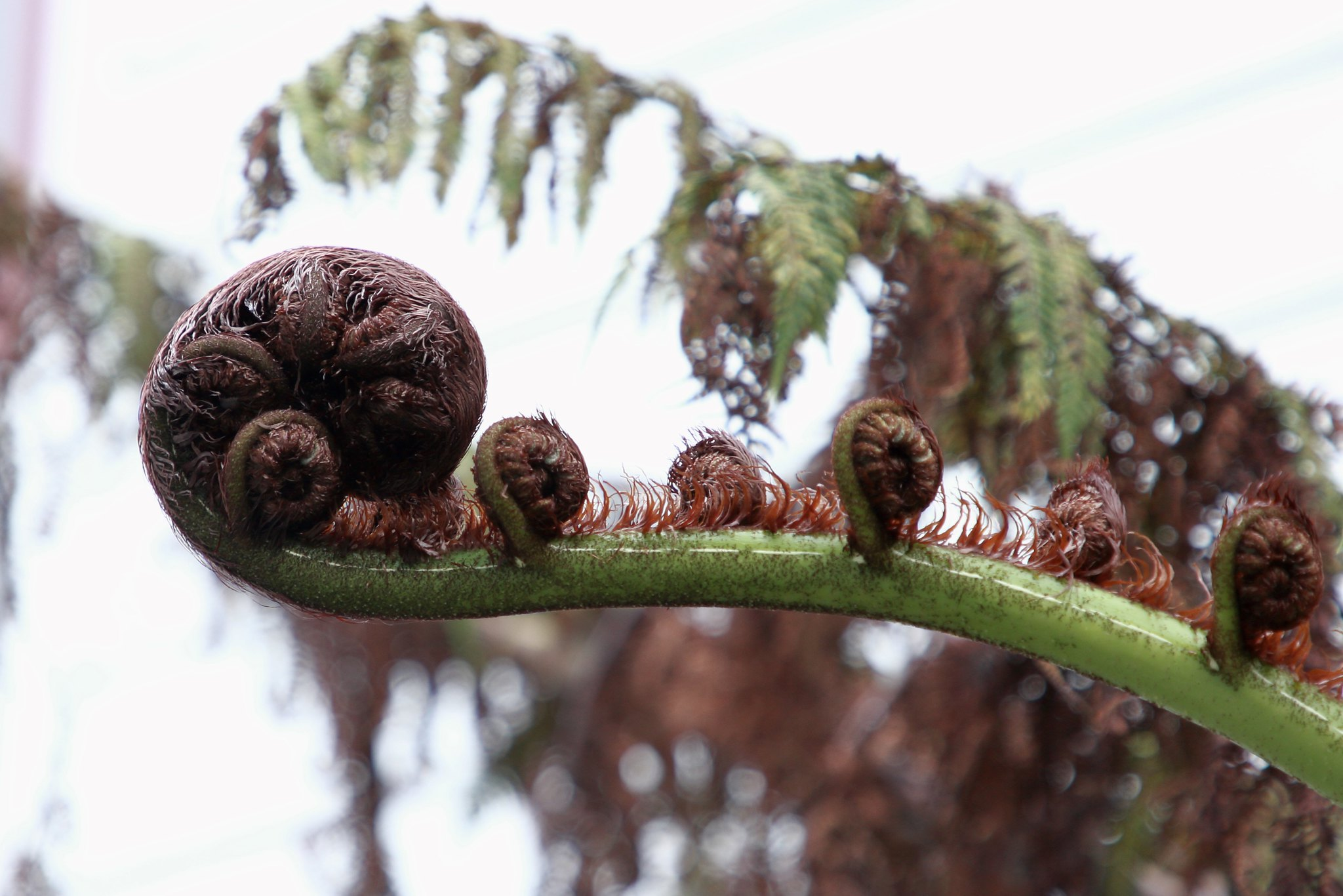 IMG_1743 EDIT (Fern frond, unfurls)