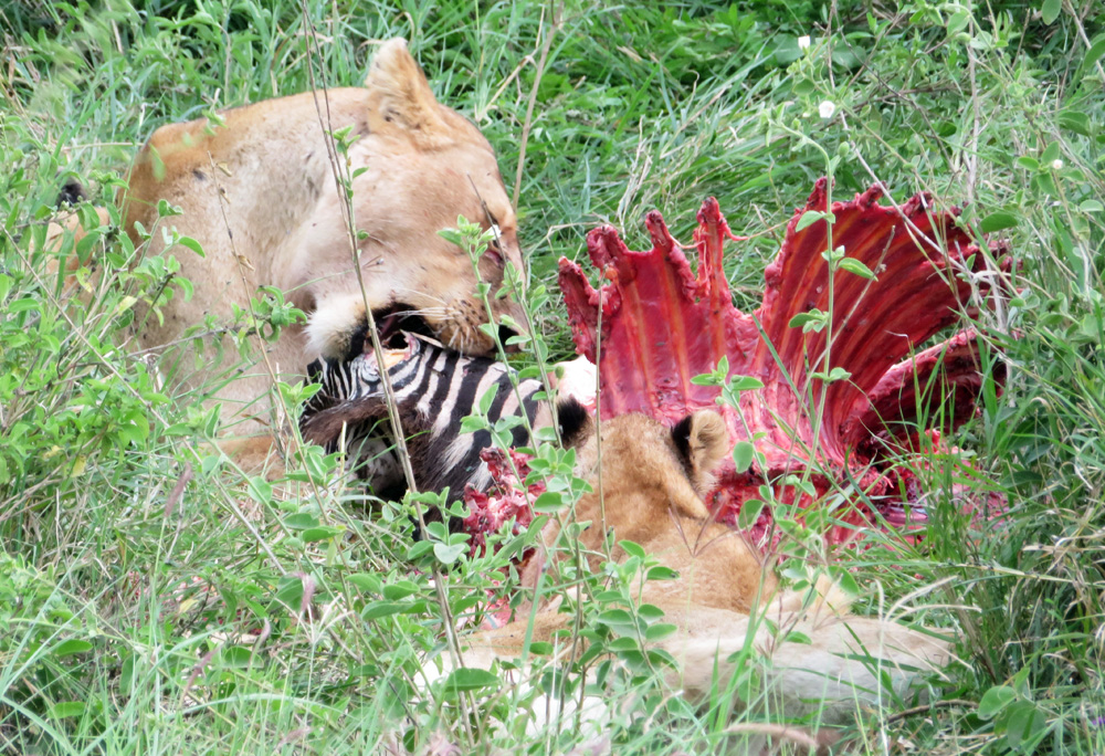 lion-eating-zebra-carcass