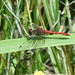 Male Ruddy Darter dragonfly?
