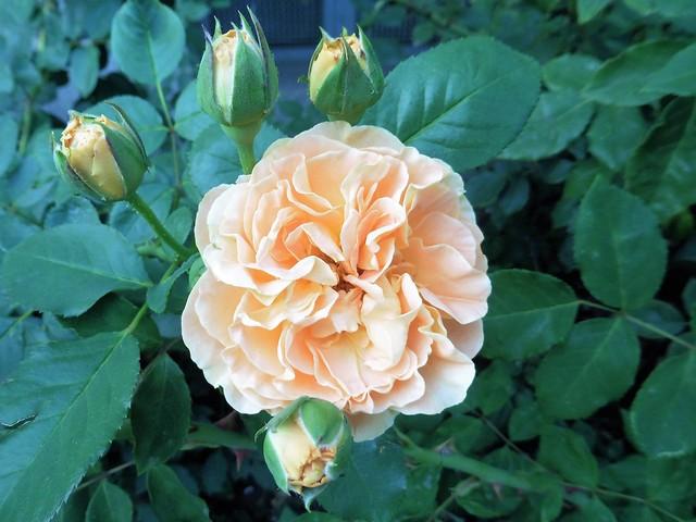 Rose, Panasonic DMC-TZ56