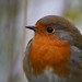 Robin (Erithacus rubecula), Leighton Moss RSPB Reserve