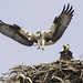 Landing Juvenile Osprey With Wings Fully Spread As Sibling Watches