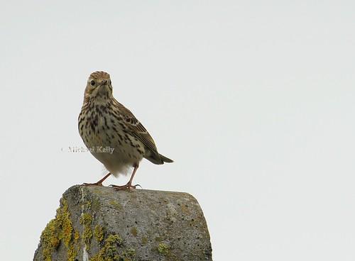 bird wildbird irishwildbird 220515 0515 2015 1663