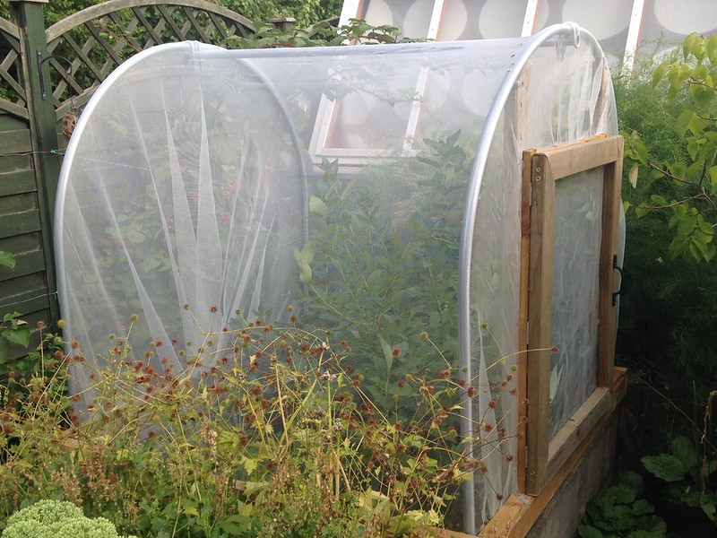Mini polytunnel as fruit cage, over blueberries