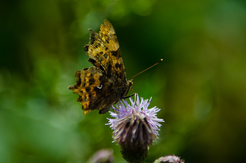 Comma butterfly, thistle flower