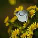 Two types of butterfly on ragwort flower