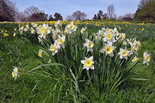 Daffodil Hill,  New York Botanical Garden, Bronx, New York