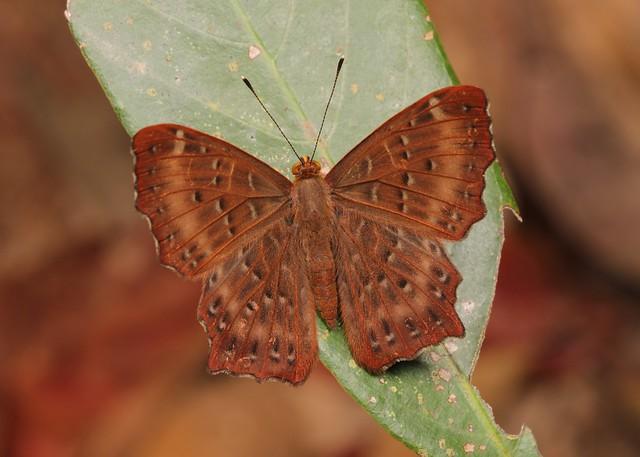 Punchinello (Zemeros flegyas, Riodinidae)