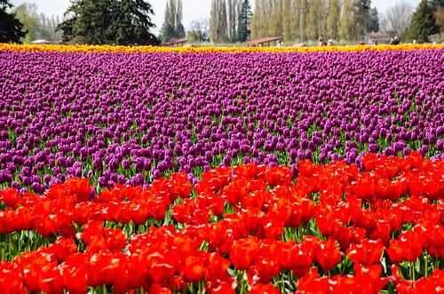 Skagit Valley Tulips-156