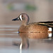 Blue-winged Teal by www.momentsinature.com