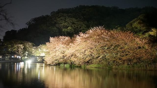 DSC07875三渓園観桜の夕べ