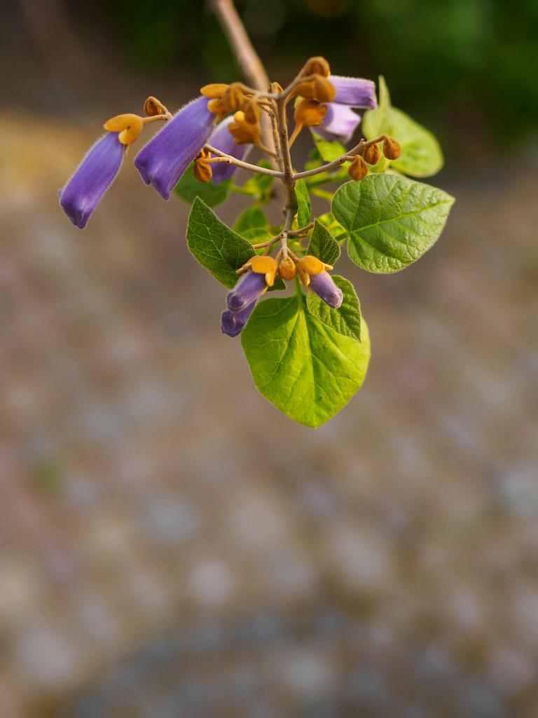 Paulownia blossoms