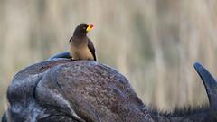 The yellow-billed oxpecker (Buphagus africanus) Gulnebboksehakker.
