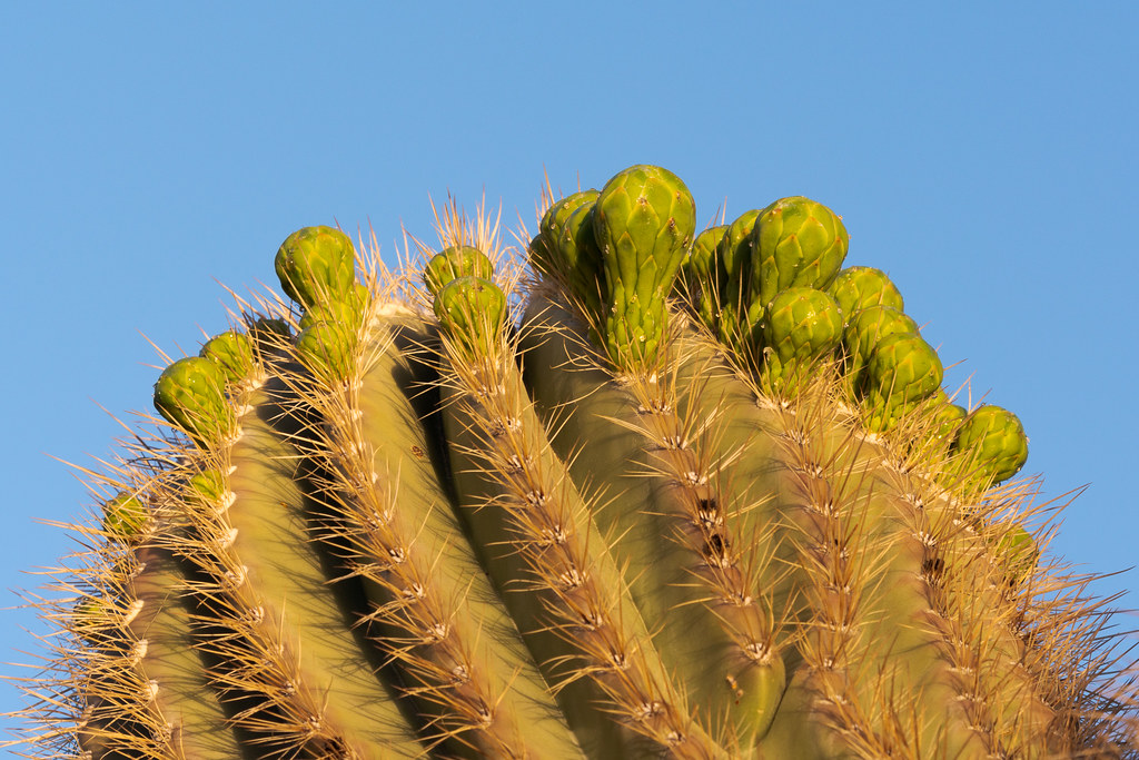 Flower buds form on a saguaro cactus near the Jane Rau Trail in the Brown's Ranch section of McDowell Sonoran Preserve in Scottsdale, Arizona