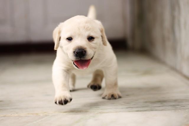 ワクチンがおわって散歩をはじめる時期の子犬