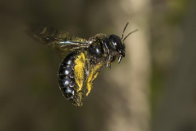 115/365  Carpenter Bee (Xylocopa)