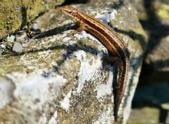 HolderFemale common lizard.
