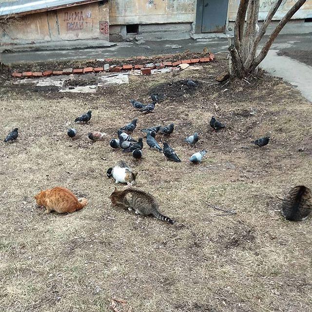 Когда коты сыты и голуби целы :-) *** Я не застал, но очевидцы рассказали, что там ещё ворона была. Вот она не стеснялась, а подходила и тырила кусочки повкуснее прямо у котов из-под носа :-)