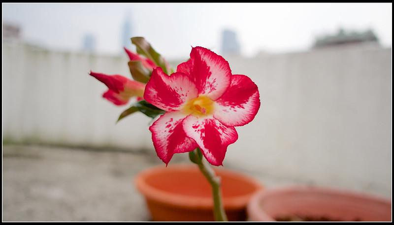 沙漠玫瑰-P4290738 (1)
