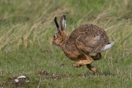 hare full pelt