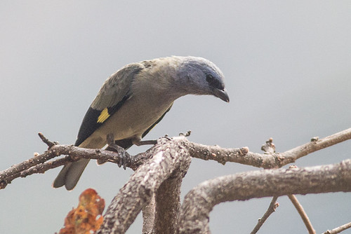 Yellow-winged Tanager -  Tangara Aliamarilla