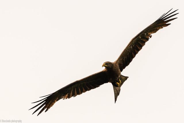 CHU_1420-2 (yellow billed kite)