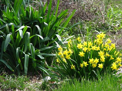 'Tete-a-tete' daffodils
