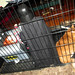 20170715 1757 - cats - Oranjello in the cage - 175716