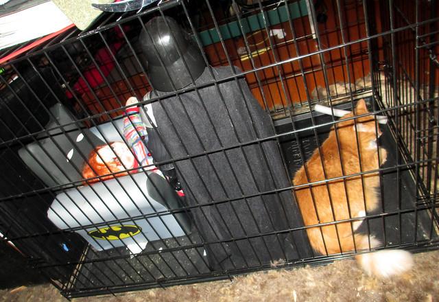 20170715 1757 - cats - Oranjello in the cage - 175716