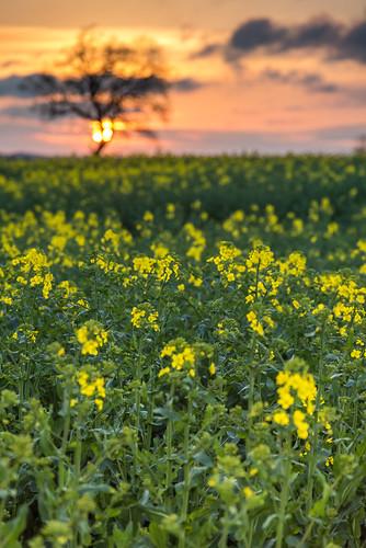 sunset rapeseed field tree yellow landscape