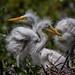 Grande aigrette. nid (1) by boisvertvert1