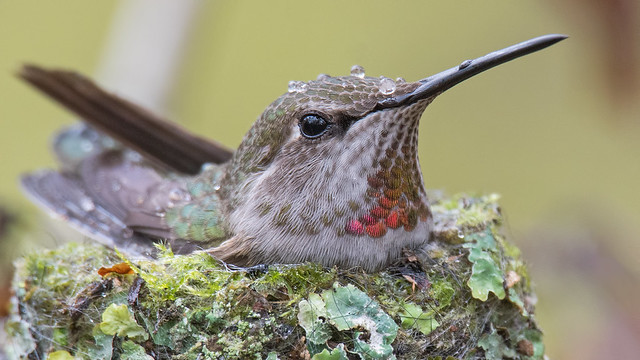 Anna Hummingbird Protecting Youngsters, Sony ILCA-99M2, Sony 500mm F4 G SSM (SAL500F40G)