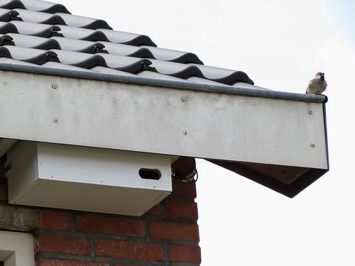 Man Huismus zingend boven Gierzwaluw nestkast nr. 3.