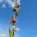 Erva-aranha //  Bee Orchid  (Ophrys apifera)