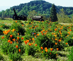 Caliornia Poppies, Wild Flowers at Oak Glen, CA 4-18