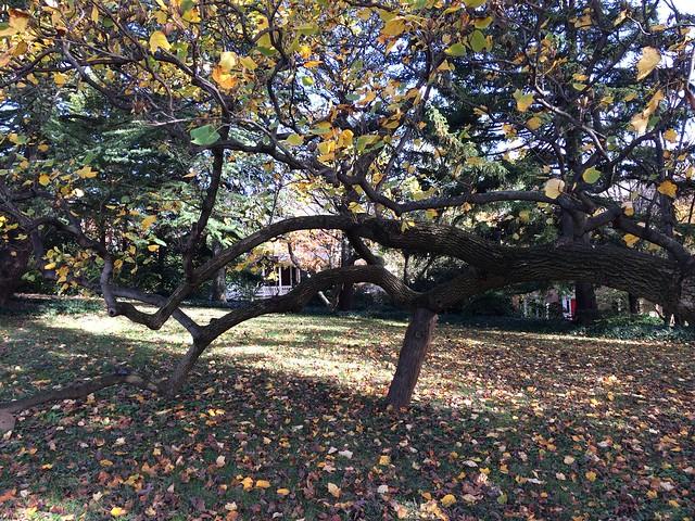 200-year-old Poplar Tree