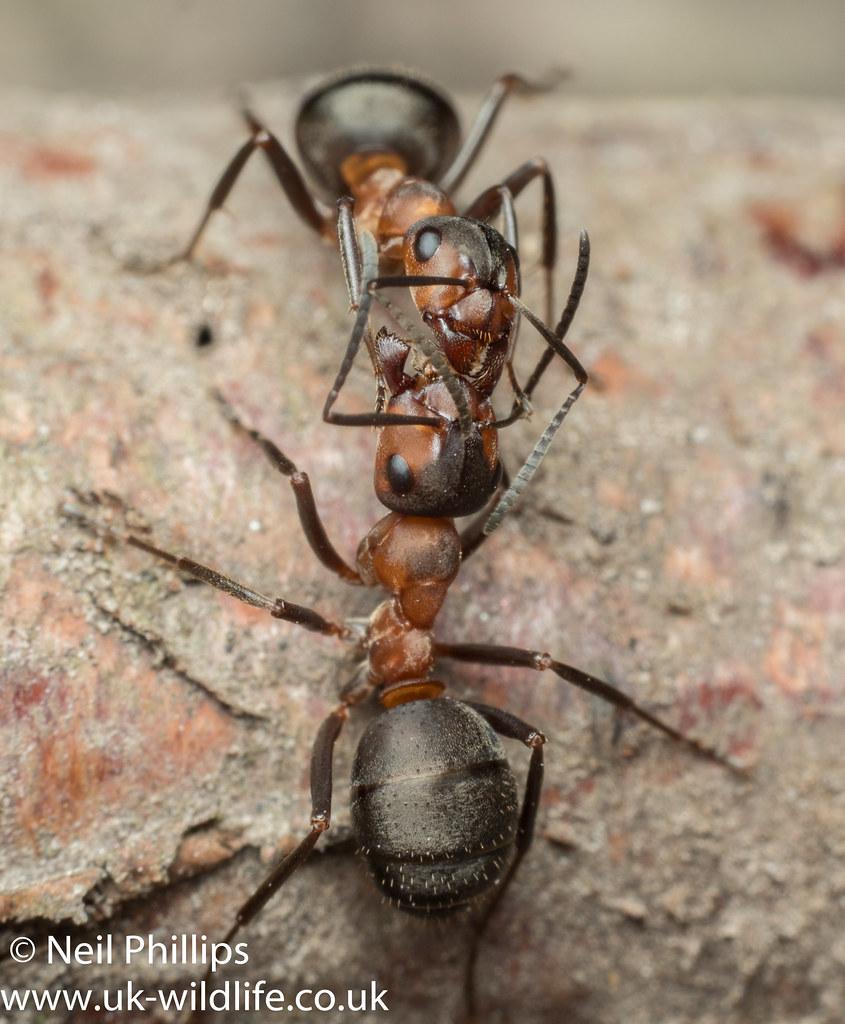 Wood ant-7